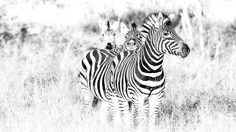 Zebras Südafrika